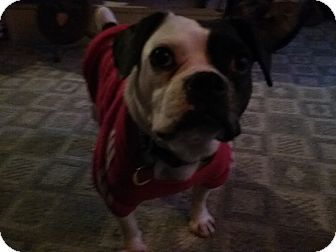 Vermilion, OH - French Bulldog/Boston Terrier Mix. Meet Baby Girl, a dog for adoption. http://www.adoptapet.com/pet/18052232-vermilion-ohio-french-bulldog-mix
