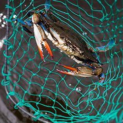 How to catch and cook blue crabs. Blue crabbing in the Outer Banks.