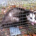 Critter & Pest Defense offers wildlife removal services and specialized in the elimination of bats, squirrels, raccoons, rats, opossum or more. We are the Orlando #professionals wildlife removal  team who will provide you with a truthful, efficient, effective experience and 100% guaranteed results. More Info: http://www.critterandpestdefense.com/services/wildlife-control/