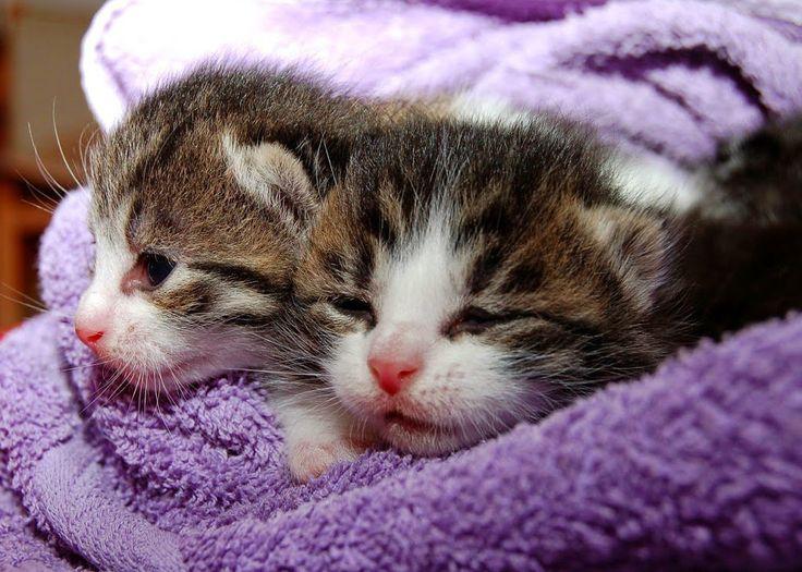 Cuidar gatos recién nacidos es difícil pero no imposible. Si ese es tu caso sigue estos consejos para que tus gatitos crezcan sanos.