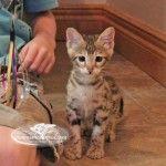 The Elite Savannah: F2 Savannah cat