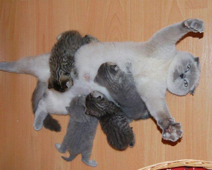 Mama gato abrumada amamantando gatitos