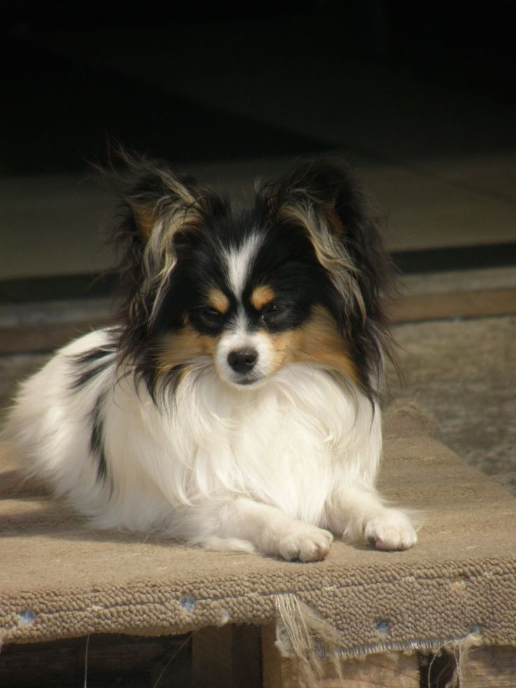 papillion puppies 119 best papillon papillon and pomeranian mix and 2624
