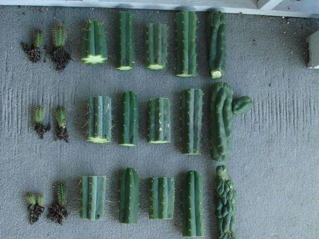 Bouturage des cactus et plantes grasses : comment bouturer des feuilles, des articles ou des segments de plantes succulentes.