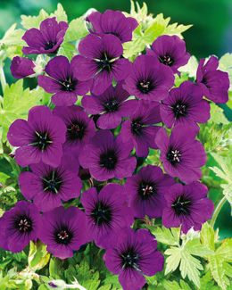 "Dragon Heart Geranium, from Dutch Gardens. 18 to 24"" tall. Perennial (zones 5-8). Loose habit. Sun to partial sun."