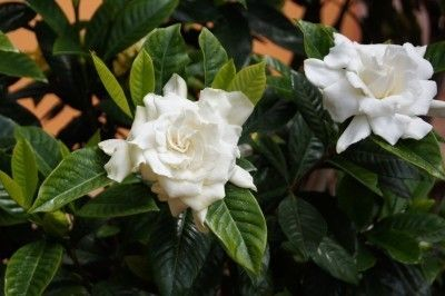 Gardenia Care To Get A Gardenia Bush To Bloom - A gardenia flower is truly a beauty to behold and the scent is just as wonderful to experience. Unfortunately for many gardenia bush owners, gardenias are notoriously tricky to coax into bloom, but it can be done. Care and feeding gardenia is key to getting a gardenia bush to bloom.