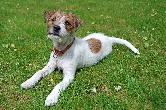 It may be similar to the Jack Russell Terrier, but the Parson Russell Terrier is a breed all its own. In fact, it was distinguished as its own breed in 2003. But while the name is different, the essential look, temperament, and genuine qualities inherent to this breed have not been shaken in the slightest. [...]