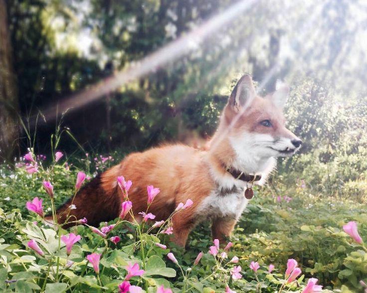 Wablief? Een vos als huisdier!