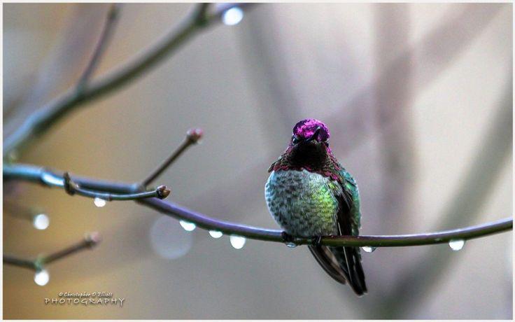 Anna's Hummingbird Wallpaper | anna's hummingbird wallpaper 1080p, anna's hummingbird wallpaper desktop, anna's hummingbird wallpaper hd, anna's hummingbird wallpaper iphone