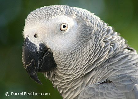 African Grey Sexing 10