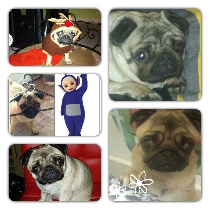 My Millie Pug!