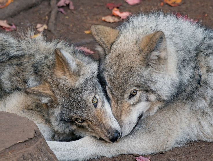 Dois jovens lobos cinzentos