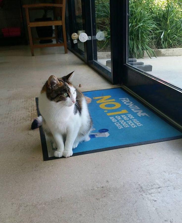 Kimmy - Guardian of the Doorway       #yourfamilyvet #yfv #pinkladies #veterinarian #vetnurse #vetlyf #vetlife #vetclinic #pets #petcare #pethealth #pethealthcare #wimmera #horsham #kimmy #catlove #cats #cat #catsofinstagram #catsofworld #catsofinsta #catsofig #adopted #adoptdontshop #hpaws