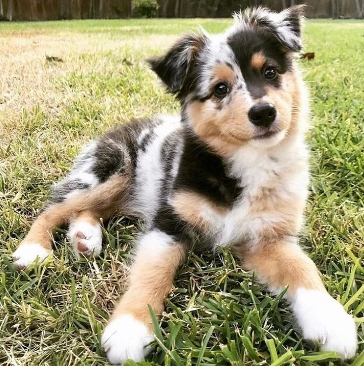 Dogs And Puppies Austrailian Shepard Puppies Austrailian Shepard Hunde Und Welpen Australischer Schaferhund Chiens Et Chiot In 2020 Puppies Funny Dogs Puppies