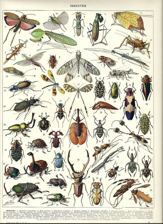"""INSECT - Vintage French Dictionary Color Illustration - 1930 9"""" x 12"""""""