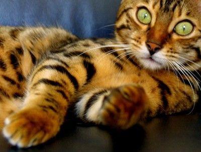 Baby...Beautiful Cat, Bright Eye, Bengal Cat, Pets, Bengal Kittens, Big Eye, Cat Lovers, Green Eye, Baby Cat