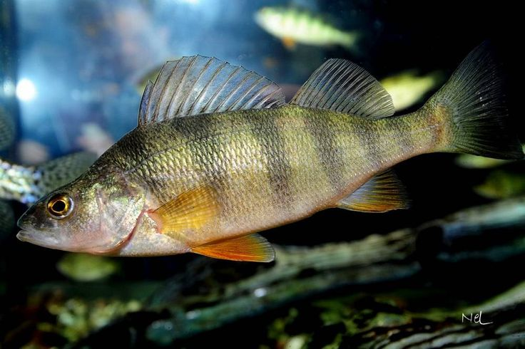 17 best images about yellow perch on pinterest black for Yellow perch fishing secrets