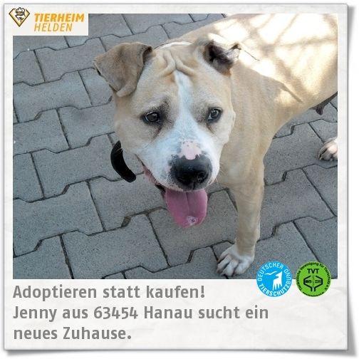 Gemütliche Staffihündin aus Hanau auf der Suche nach einem Zuhause.  http://www.tierheimhelden.de/hund/tierheim-hanau/american_staffordshire_terrier_mischling/jenny/7713-0/  Jenny bleibt unproblematisch ein paar Stunden alleine, versteht sich sehr gut mit kleinen Hunden und entscheidet bei anderen nach Sympathie. Aktuell kann auch sie eine kleine Diät vertragen und sucht am besten als Einzelhund ein Zuhause.