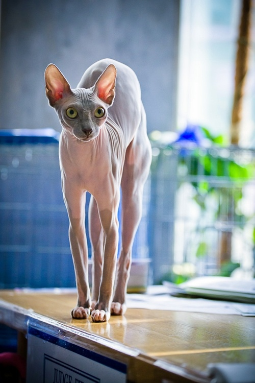 Sphynx Cat on the alert.