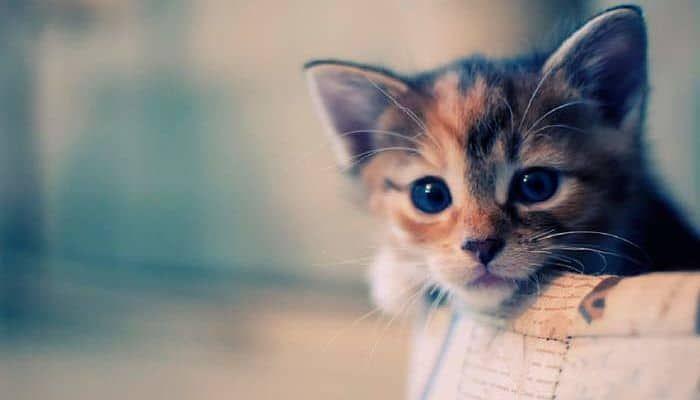 Queratitis En Gatos, Como Reconocer Esta Enfermedad Infecciosa En Nuestra Mascota.
