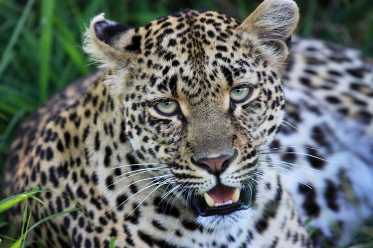 A pregnant Leopard in Simbambili, Sabi Sands Reserve... Soft beautiful eye contact. Photo credit: Lynette O'Neill