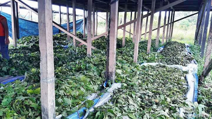 "Drying naturally  For more info, don't hesitate to contact us or visit : www.buminesia.com Stay health good people. ""Finest Quality, Finest Remedy"" #mitragynaspeciosa #kratom #iamkratom #savekratom #kratomsavelives #keepkratomlegal #herb #remedy #herbalremedy #naturalremedy #medicine #health #relief #cure"