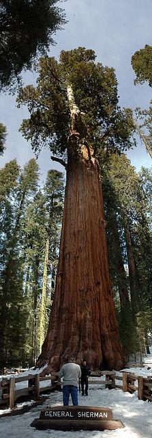 General Sherman Tree, Sequoia National Park, CA, USA
