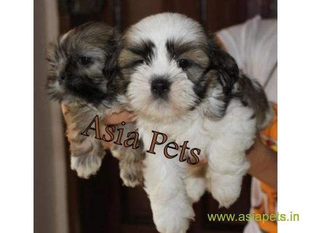 Lhasa Apso Puppies For Sale In Dehradun On Best Price Asiapets