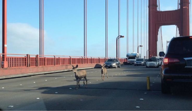 Oh Deer! Take a Look at What Clogged the Golden Gate on Friday