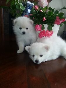 white pomeranian puppies for sale white pomeranian puppies cost, white pomeranian puppies for adoption, pomeranian puppies for sale  We  have one female and one male  adorable white Pure Breed Tiny Toy Pomeranian Puppies that are just about ready for their forever homes. They will melt your Heart.  They were born 15 .04 , 2017. They are family raised and have been started on paper training.   #white pomeranian puppies for sale california #white pomeranian puppies f
