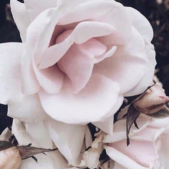 These blooms...so elegant...so soft 🥀#roses #rose #nature #nyfw #beauty