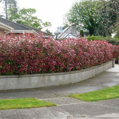 natural privacy screen ideas hedges natural and privacy