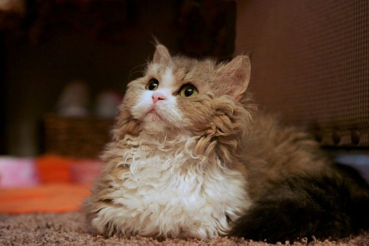 Der Lambkin entstand durch die Kreuzung der Munchkin-Katze und des Selkirk Rex …   – Adorable Kittens