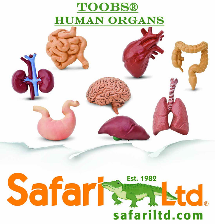 Our 2015 Human Organs TOOB is going to be a great educational tool.