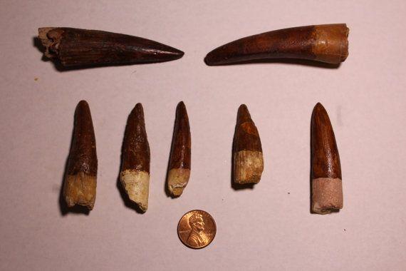 Dinosaur Fossil Teeth Spinosaurus Egypt by RedstoneMinerals