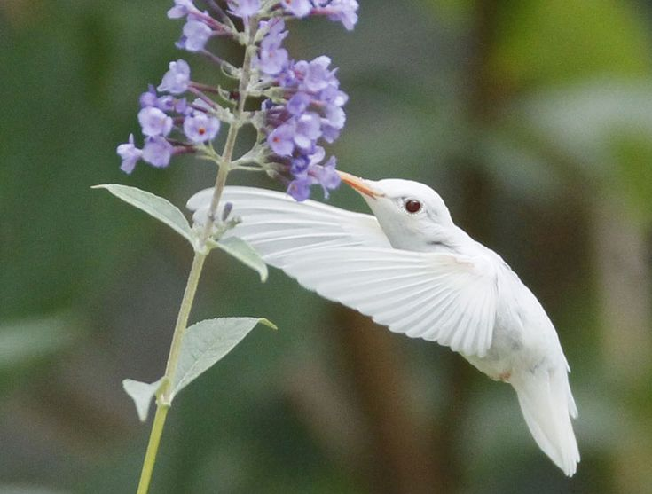 Stunning Images of Rare Albino Hummingbird. This is amazing. I love these little birds.