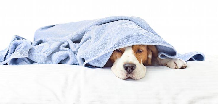 #Chic4Dog #news: I cani si ammalano come gli uomini? Scopri subito qui la risposta: http://blog.chic4dog.com/2015/01/cani-si-ammalano-di-piu-o-di-meno-degli-uomini/