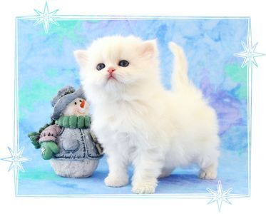 White persian kittens for sale in ny