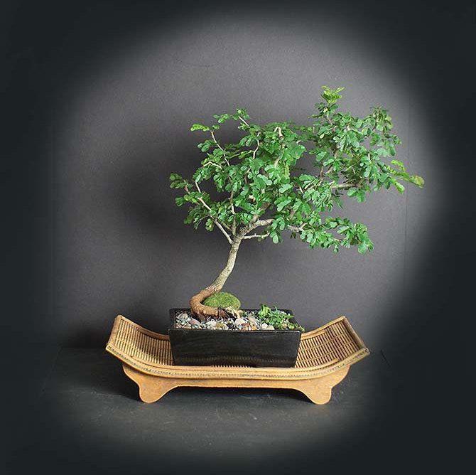 Pin On Acacia Mimosa Powder Ruff Poinciana Jacaranda And Tamarind Bonsai