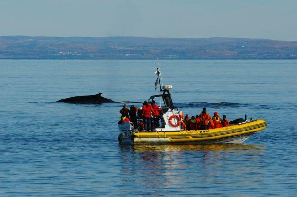 Croisière aux baleines en zodiac