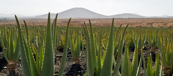 Aloe Vera�The Foundation of Mannatech. REAL PRODUCTS, REAL PASSION, REAL POSSIBILITIES. http://mtex.it/pt9s58f3