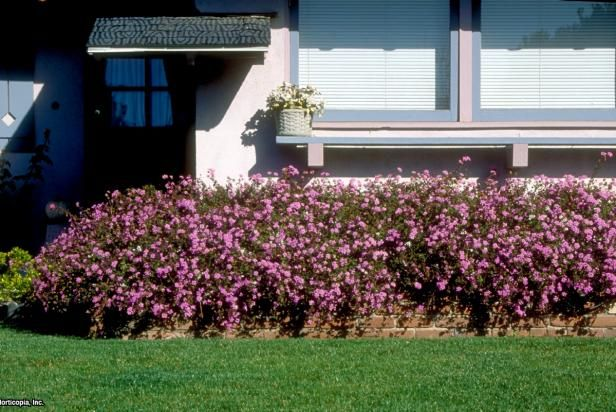 Learn about lantana care from the experts at HGTV. Discover tips for growing lantana, including ideas for pruning lantana.