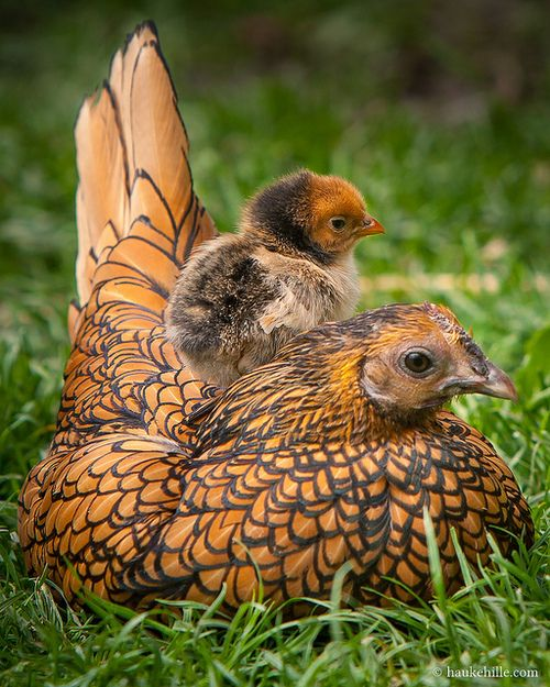 Sebright Hen & Chick,  named after its developer, Sir John Saunders Sebright. One of the oldest recorded British 'true' bantam.  by H. Hille on Flickr.
