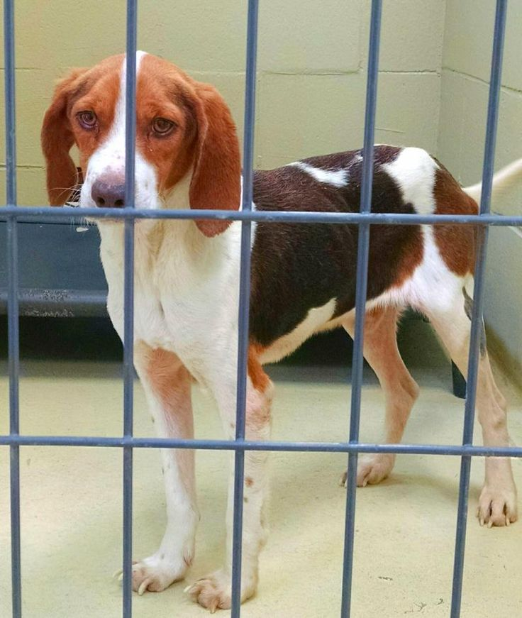 Barry is an adoptable Beagle searching for a forever family near Clarksville, VA. Use Petfinder to find adoptable pets in your area.