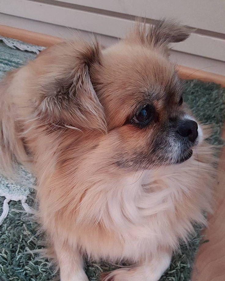 Happy Sunday  #tiibetinspanieli #tibetanspaniel #tibsu #tibetanterriersofinstagram #koira #dog #dogsofinstagram #doglovers #petlovers #pets #cutenessoverload #peppithedog #lifestyleblogger #nelkytplusblogit #åblogit #ladyofthemess