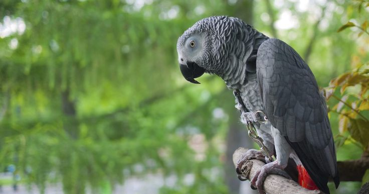 Lista de alimentos que um papagaio-cinzento pode comer. A disposição gentil e a inteligência viva dos papagaios-cinzentos os tornam animais de estimação populares. Esses papagaios africanos, nativos de florestas tropicais médias, aprendem facilmente a imitar a fala humana e podem ser companheiros amigáveis e divertidos. As suas necessidades de cuidados são simples. Eles exigem um ambiente limpo e ...
