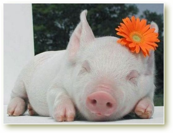 Best Mini Pigs Images On Pinterest Mini Pigs Micro Mini Pig - Adorable pig whos grown up with dogs believes shes a puppy too