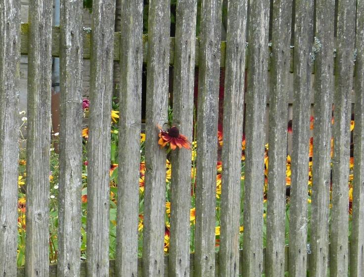 """W jednej z niezliczonych włóczęg rowerowych po Pomorzu Zachodnim dosłownie mnie ukuł widok kwiatka wyrywającego się na wolność. I to we wsi, gdzie mieszkańcy prześcigają się w równo przyciętych trawnikach i zadbanych ogródkach, gdzie żadna trawka nie śmie rosnąć krzywo.... Najpierw przemknęło przez myśl mickiewiczowskie """"lepszy na wolności kęsek lada jaki..."""", potem - konkurs w TP! Ostre hamowanie, aparat w garść i jest!  Fot. Łukasz Piskorski"""