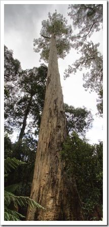 One of the White Knights, the tallest white gums in existence, at Evercreech Forest Reserve  near the town of St Marys on Tasmania's East Coast. #whitegums #tasmania #discovertasmania Image Credit: ourwalkabout