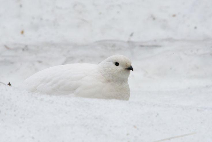 """Rock ptarmigan"" by Frank Paul Silye on Exposure. Bird photography in Oslo :)"